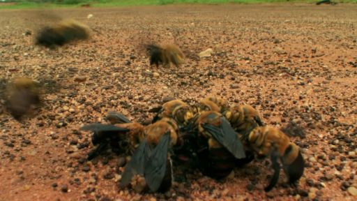 Clip |  Bee Mating Frenzy Ends in Death
