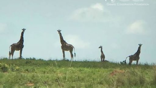 Baby Giraffes Spotted After Translocation in Uganda