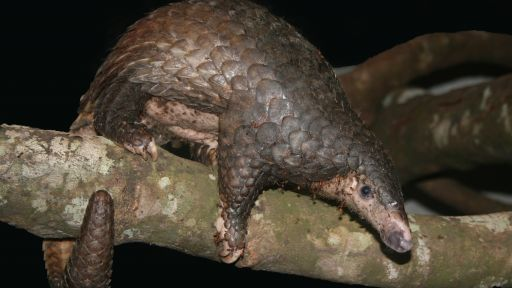 Saving Pangolins from Extinction
