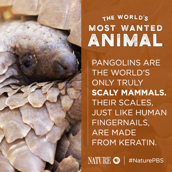 The World's Most Wanted Animal | 5 Pangolin Facts to Know