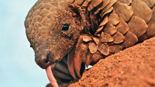 5 Pangolin Facts to Know and Share