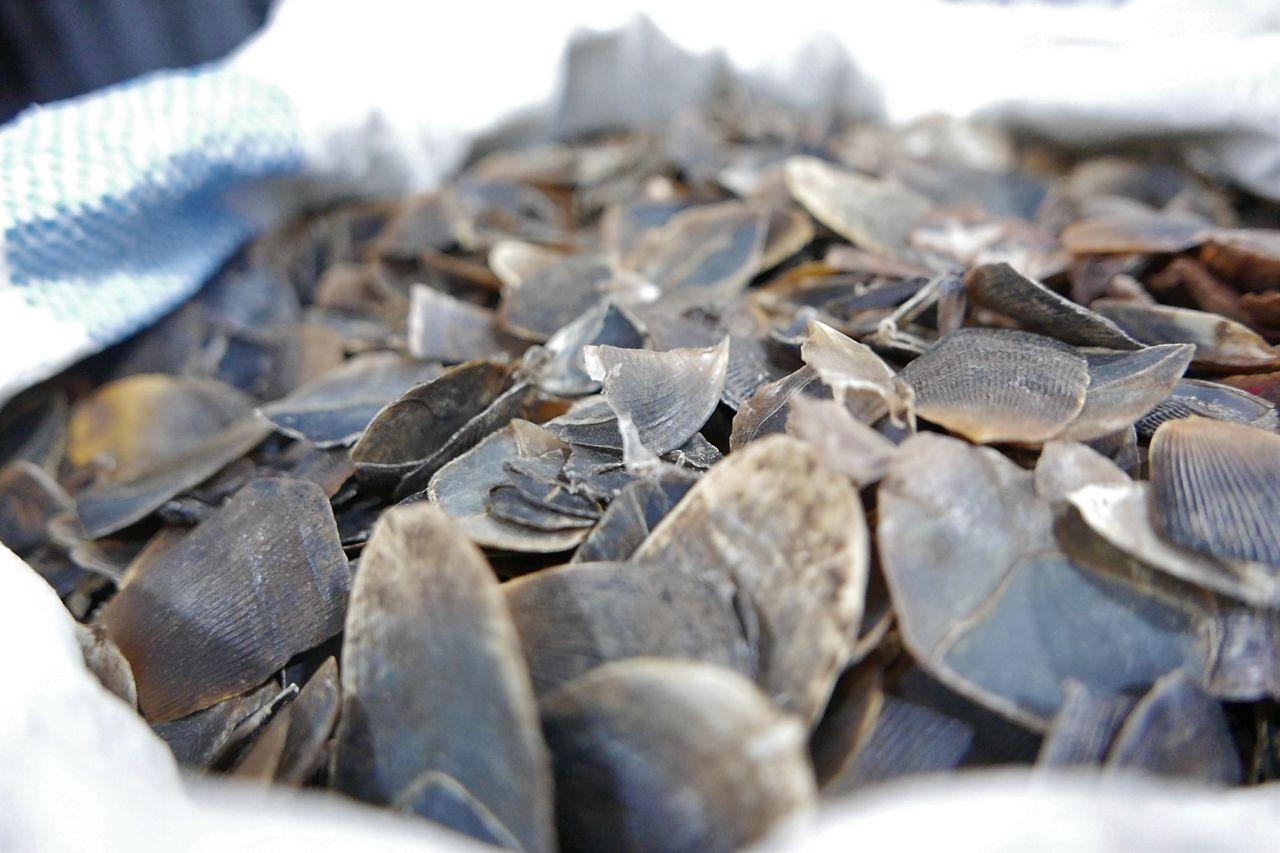 Pangolin Scales   Photo: TRAFFIC
