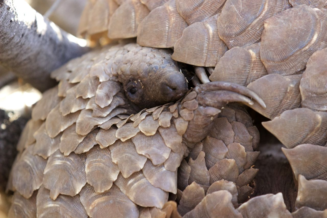 Pangolin | Photo: Victoria Bromley