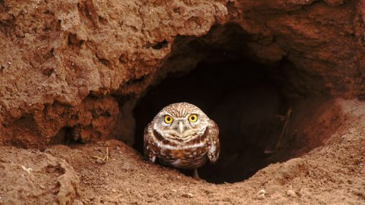 For Burrowing Owls, the Future Depends on Squirrels, Badgers and Prairie Dogs