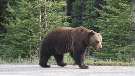 The Legacy of Big Boy the Grizzly Bear