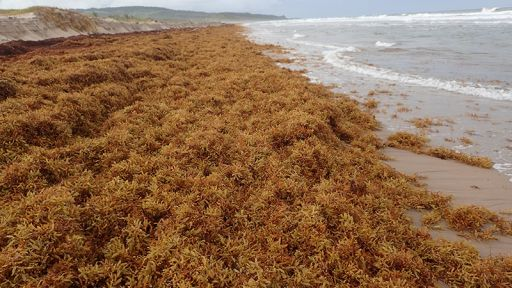 Sargassum Blooms: Too Much of a Good Thing?