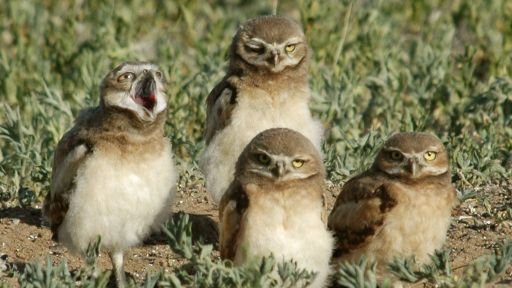 The Curious Home-decorating Habits of Burrowing Owls