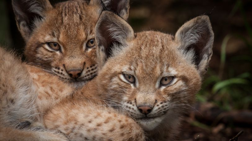 Lynx Babies
