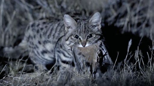 Clip |  Meet the Deadliest Cat on the Planet