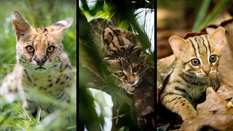 Global pet trade in wild cats is a threat to their survival