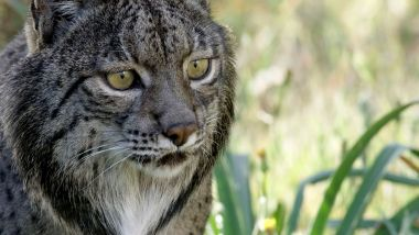 Iberian Lynx: Return of the 'Spanish Tiger'