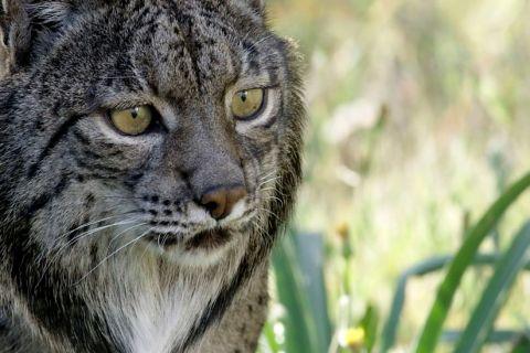 Iberian Lynx: Return of the 'Spanish Tiger'