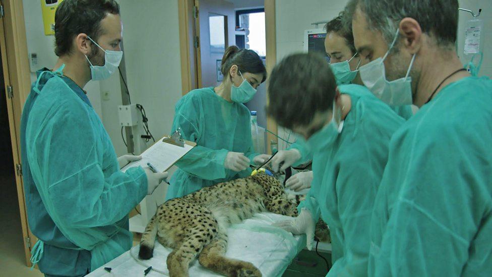 Iberian Lynx Health