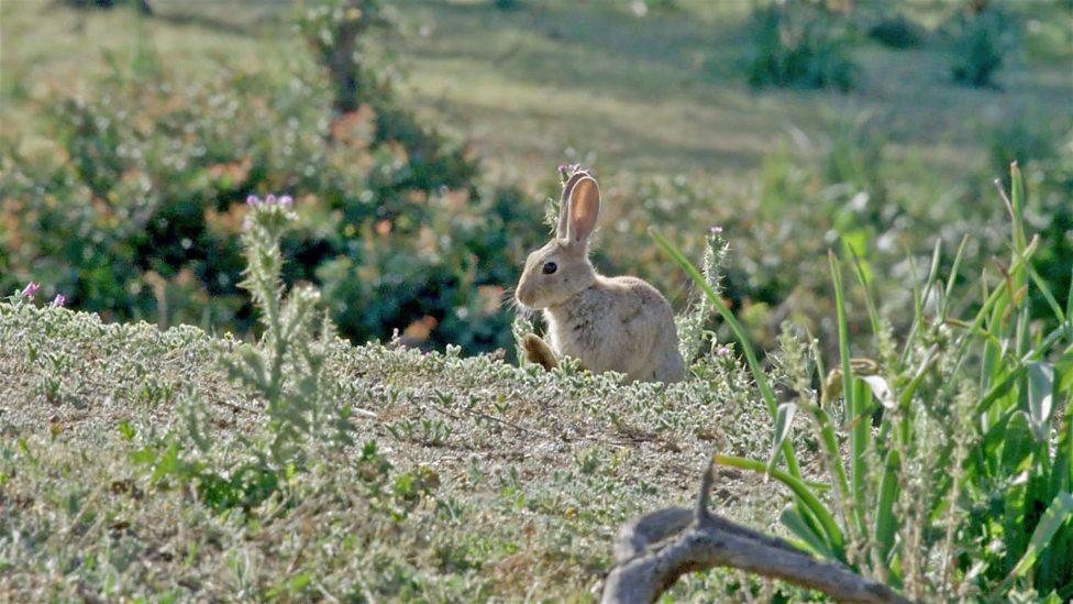 Rabbits and Iberian Lynx