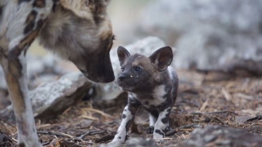 Dogs in the Land of Lions -- African Wild Dog Mom Needs a Break from Pups