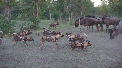 Dogs in the Land of Lions -- Wild Dogs Take on Wildebeest