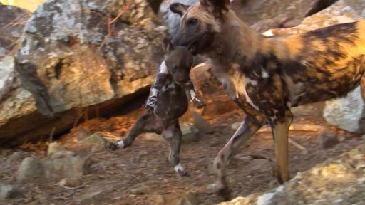 Clip | Yearling Wild Dogs Take their Siblings Hostage