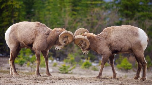 Bighorn Sheep Have a Problem with Their Domestic Relatives