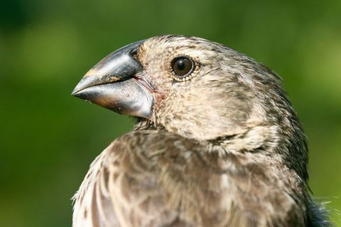 Are Table Scraps Influencing the Evolution of Darwin's Finches?