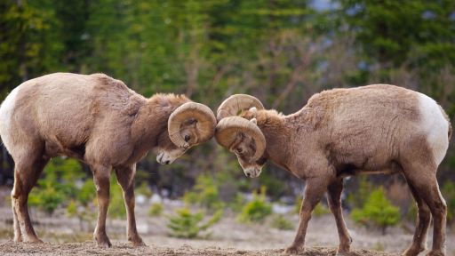 360 Video: Experience Life in a Herd of Bighorn Sheep