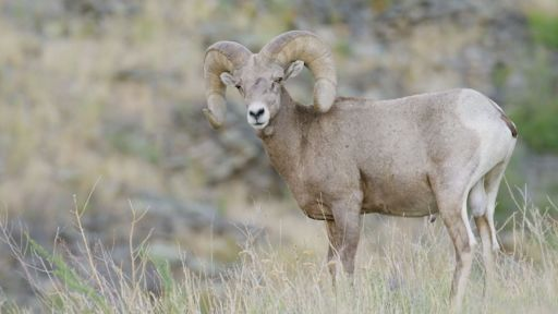 Running With The Herd: A NATURE Short Film -- The Biggest Threat to Bighorn Sheep