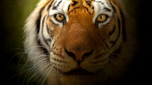 Clip |  The Truth About Tiger Conservation