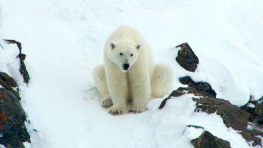 Polar Bear Mom Creates Avalanche to Save Family