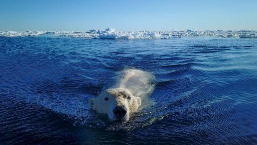 Polar Bear Sneak Attack