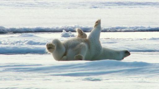 How Polar Bears Dry Off