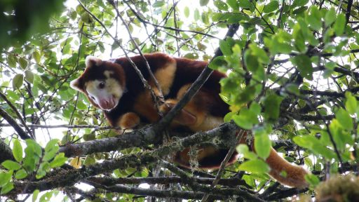 A Life Among the Clouds: A NATURE Short Film -- Studying Tree Kangaroos