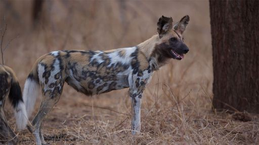 Competition between African Wild Dogs and Lions