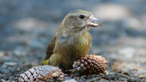 Will Climate Change Drive a New Species of Crossbill to Extinction?
