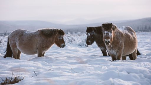 These Arctic Horses Don't Mind the Cold