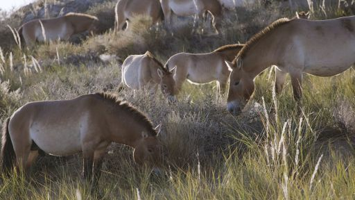 The Wild Horses That Beat Extinction