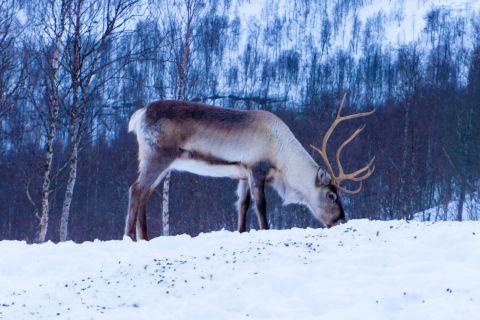 Did A Caribou Help Fly Santa's Sleigh?