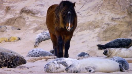 Clip |  How Seals Help Wild Horses