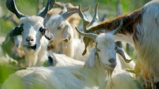 Clip |  Can Goats Predict Volcanic Eruptions?