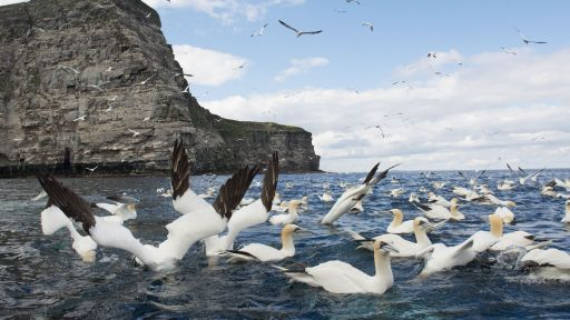 Gannets Diving for Fish