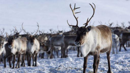 Reindeer Cyclone