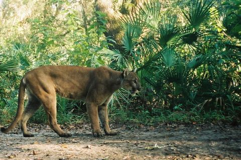 The Plight of Florida Panthers