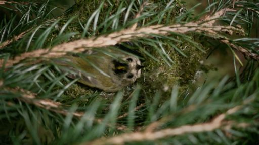 The clever way the tiniest bird warms her nest