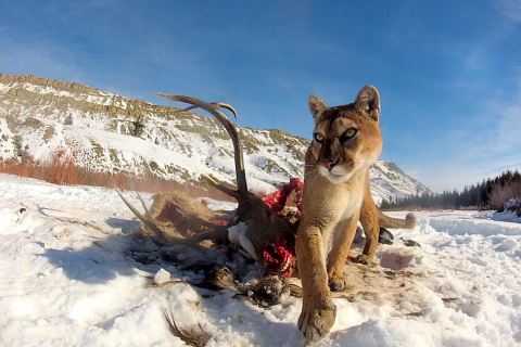 Master Regulators: How Mountain Lions Boost Biodiversity