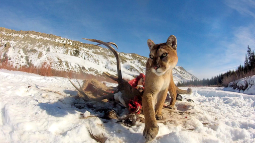 Master Regulators: How Mountain Lions Boost Biodiversity