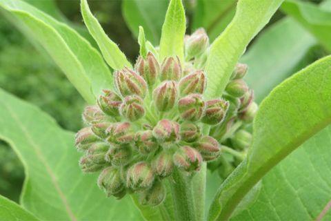 Milkweeds and Monarchs 101
