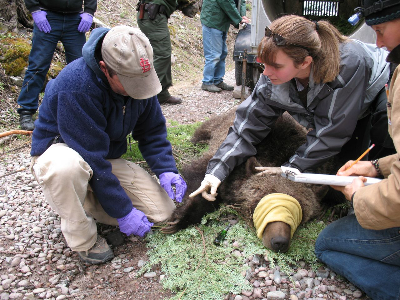 Measuring and tagging a bear