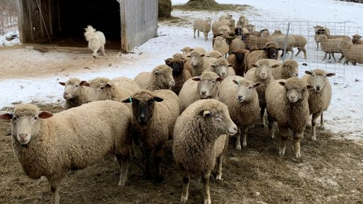 Sheep from Meadowcroft Farm