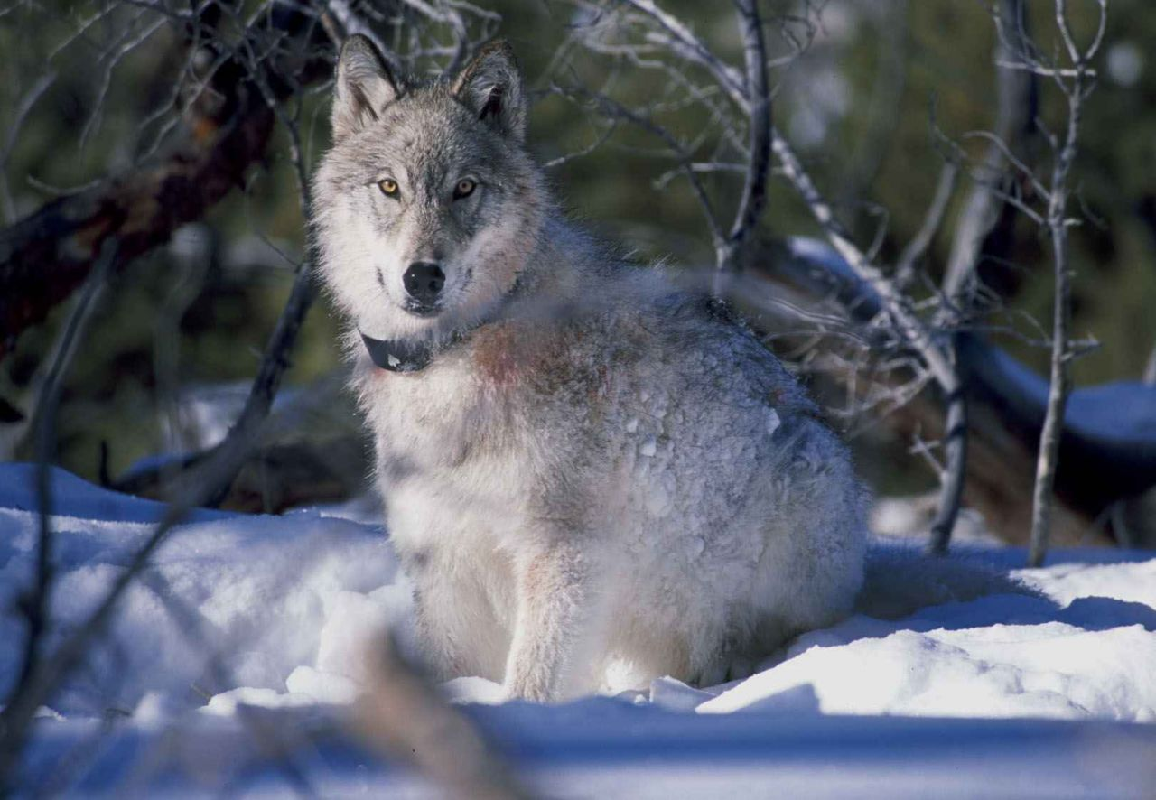 Radio Collared Gray Wolf