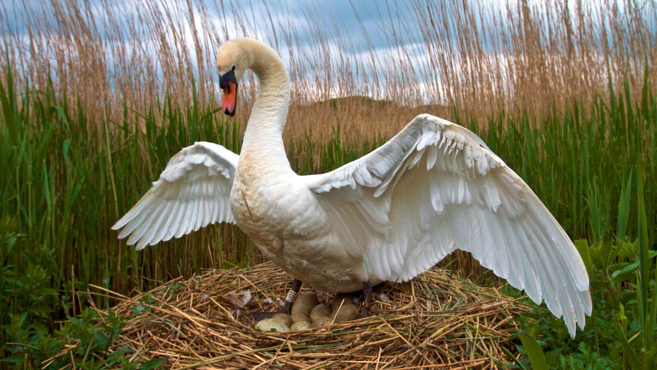 Male swan on nest