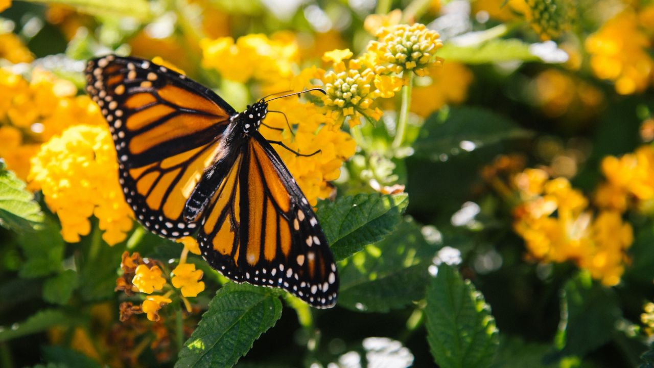 How to Give Monarch Butterflies a Head-Start This Spring ...