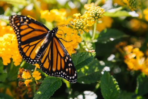 How to Give Monarch Butterflies a Head-Start This Spring